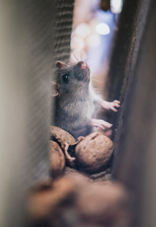Top reasons to hire professional help for rodent removal